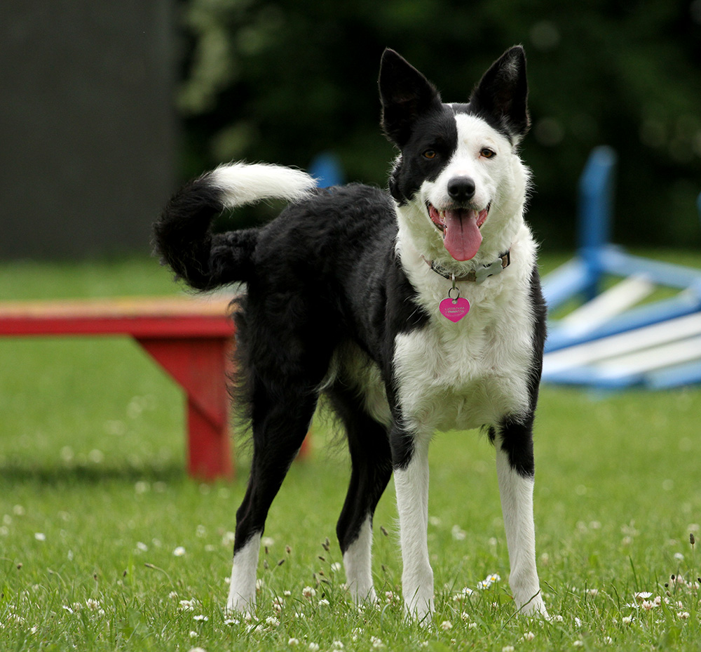 Asta, owned by Janne Litgov, www.litgov.dk. Asta works with sheep and trains agility and rally-obedience