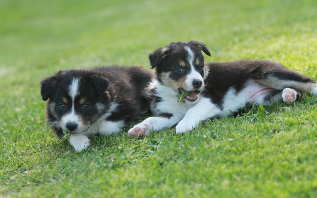 5 Weeks old pups